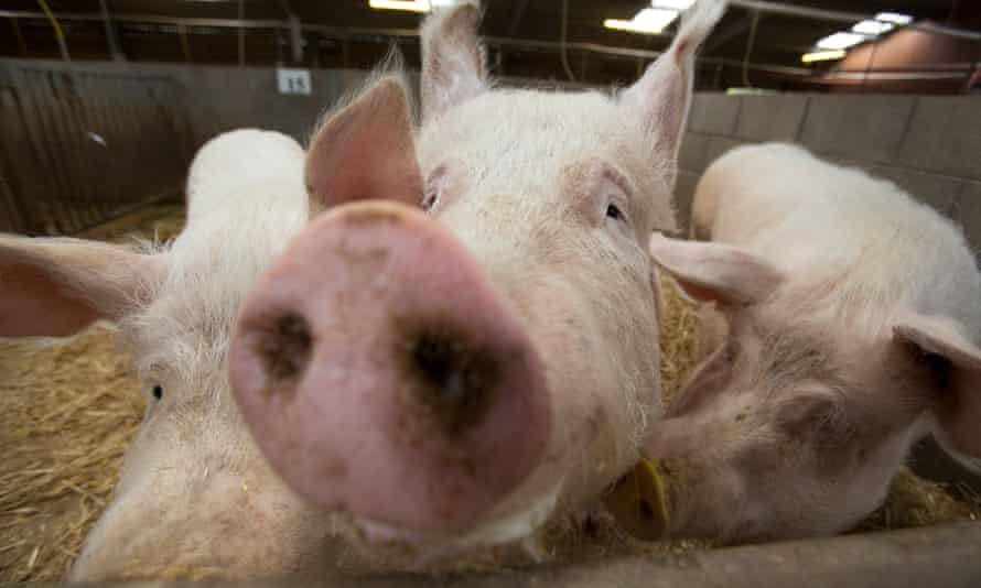 Pigs created by gene editing.