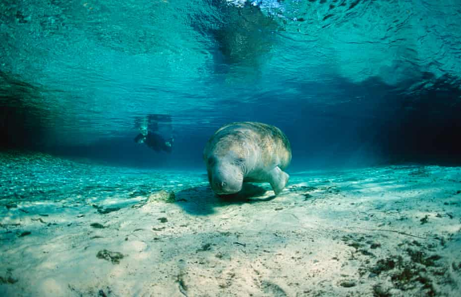 The habitat of the gentle sea cow has been ravaged by coastal development.