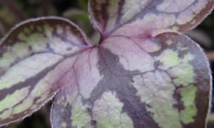 Hepatica nobilis var pyrenaica 'Stained glass'