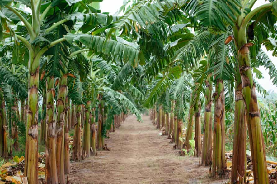 A banana plantation in Vietnam.