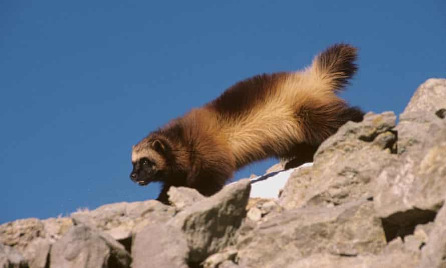 Wolverine in Montana