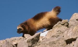 A wolverine walks along rocks in Montana.