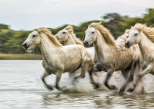 Running FreeSemi-wild horses galloping through a shallow lake in the Camargue (Rhone delta). Taken on a photoshoot with some other photographers in May this year Photograph: ID9664079/GuardianWitness