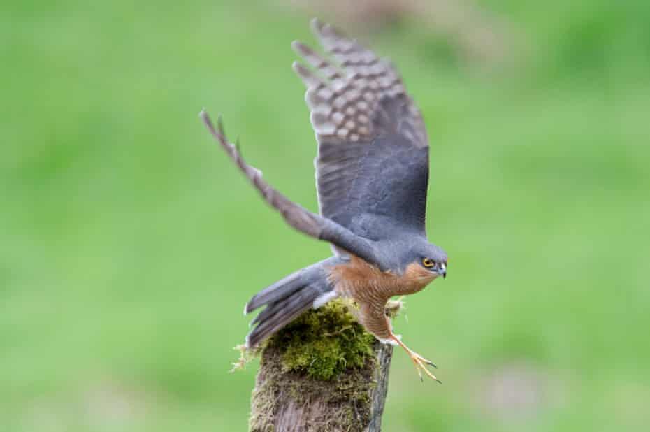 A male sparrowhawk flies off a post