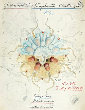 Ernst Haeckel's drawing of Nausithoe challengeri, described in 1880.