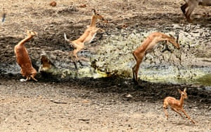 An exhausted baby impala tries to quench its thirst in scorching heat - and ends up becoming a hungry crocs dinner