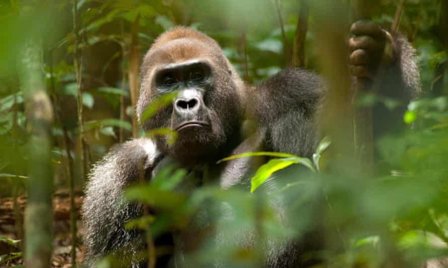 Western lowland gorilla in the Dzanga-Ndoki National Park, Central African Republic.