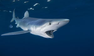 A blue shark at Cape Point, South Africa.