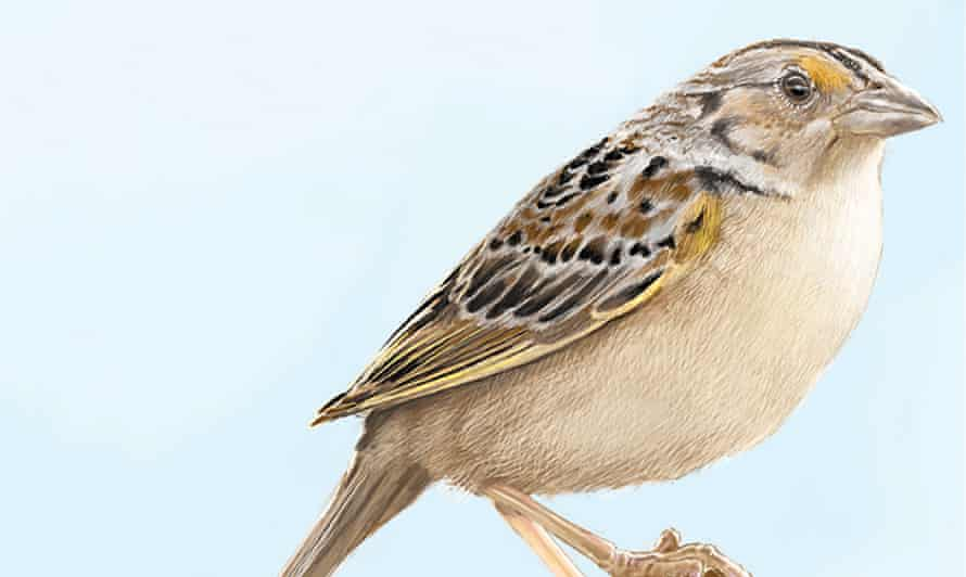 Illustration of the Florida grasshopper sparrow. The bird has been listed as endangered since 1986 and has suffered steep declines in its population since then.