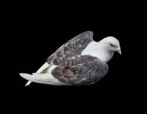 Marilyn, a saddle pigeon with symmetrical wings