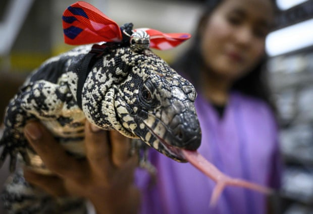 A woman holds an Argentine black and white tegu. Photograph: Mladen Antonov/AFP/Getty Images