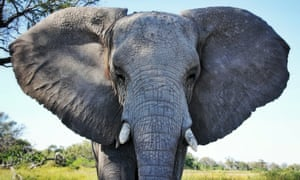 Thirty thousand African elephants are slaughtered for their ivory every year.