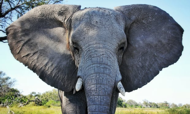 POLL: Should Japan be sanctioned for allowing the ivory trade to continue?