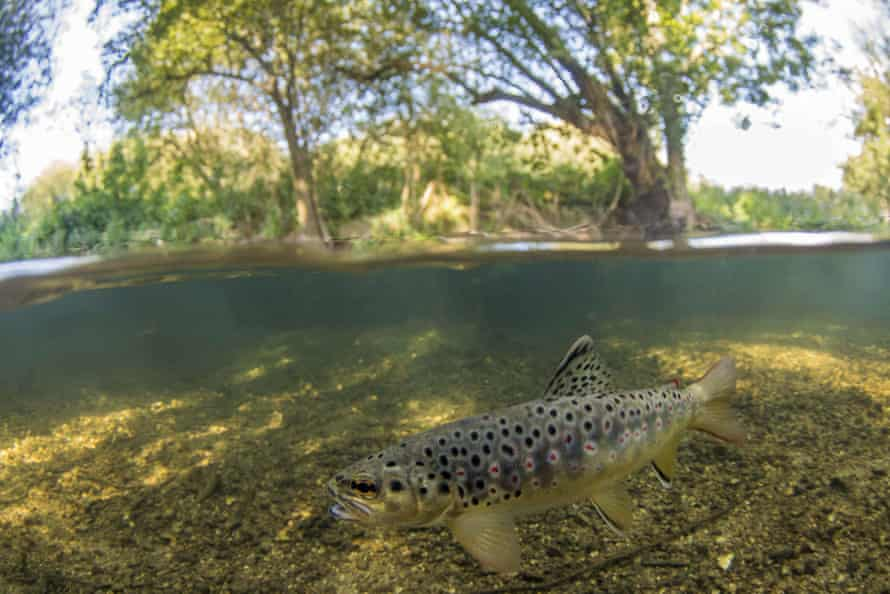 A brown trout in the River Frome