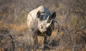 Black rhinos typically live up to 43 years in the wild.