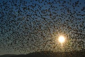 A huge flock of common starlings above wetlands of Nea Kios, Peloponnese, Greece