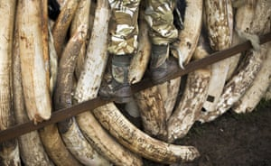A ranger from the Kenya Wildlife Service (KWS) climbs up to stack elephant tusks, transported from around the country, into pyres in Nairobi National Park