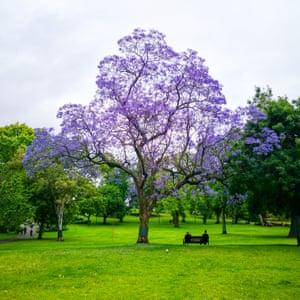 Jacaranda tree in Melbourne's Flagstaff Gardens