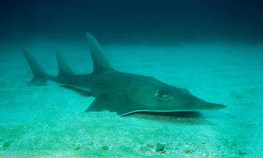 A guitarfish, one of two families of rays pushed to the brink of extinction in the IUCN's updated red list.