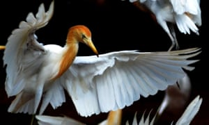 The cattle egret, a native of the Mediterranean, is now found in the UK.