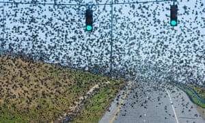 A flock of grackles in Alabama in 2011. More than 30 of the birds mysteriously died recently in Boston. Officials are investigating possible causes.