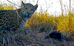A jaguar and her three-month-old cubs are the first to be released to the wild in Corrientes, Argentina, after 70 years of extinction of the species in the province