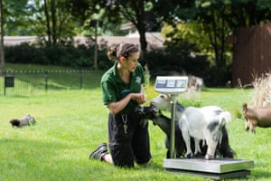 A zookeeper weighs a pygmy goat