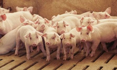 Pigs at a farm near Le Mars, Iowa