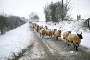Sheep are driven to another field in the snowy Cotswolds in Gloucestershire, England