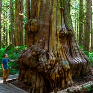 Man stands at a Western Red Cedar (Thuja plicata) in the Avatar Grove, Port Renfrew, Vancouver Island, British Columbia