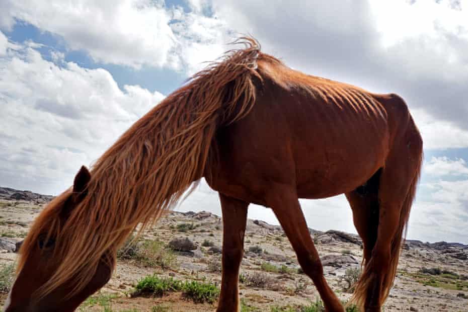 A horse grazes Khanbogd