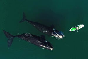 Southern right whales swimming near a man practising standup paddleboarding in Nuevo Gulf