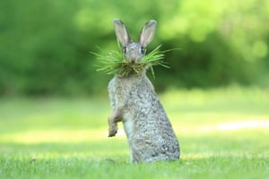 Eh, what's up doc?Olivier Colle's photograph of a wild rabbit in Flanders, Belgium, wins highly commended