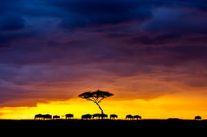 A herd of wildebeest crosses the skyline against a stunning sunset in Masai Mara, Kenya