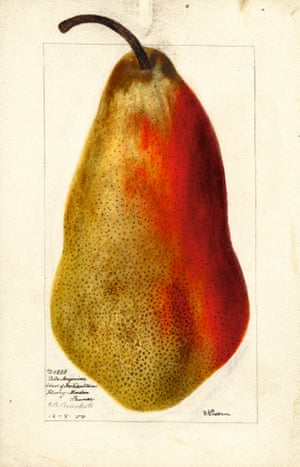 Watercolour of a belle angevine pear from An Illustrated Catalogue of American Fruits and Nuts, published by Atelier Editions.