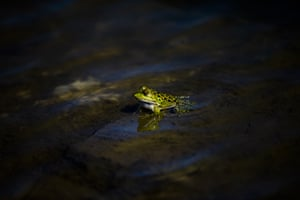 A marsh frog sits in water at Patara Ancient City in the Kas district of Antalya, Turkey. Patara was the leading city of Lycia when it was ruled by Ptolemy in the 3rd century. Now the ancient city hosts species of birds and reptiles