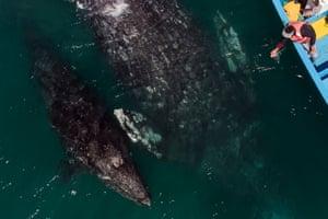 Whales swim near a tourist boat