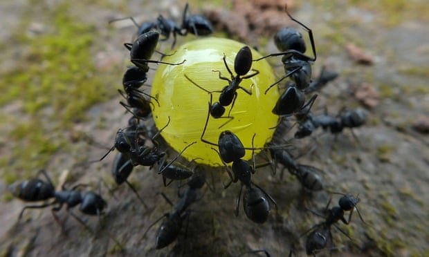 A group of ants join their forces to move a sweet.