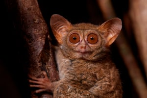Portrait of a spectral tarsier on a fig tree in Tangkoko national park