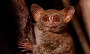 Portrait of spectral tarsier in Tangkoko national park, Indonesia, featured in the Natural History Museum's exhibition Life in the Dark