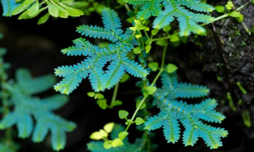 Metallic colours: the amazing foliage of peacock spikemoss.