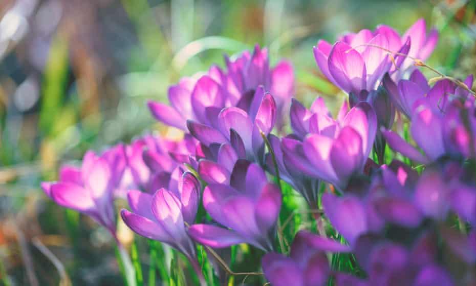 Crocus flowers in spring.