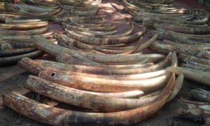 Ivory seized in Mombasa, Kenya, in June 2014, and used in evidence in the trial of Feisal Mohammed Ali on charges of ivory trafficking.
