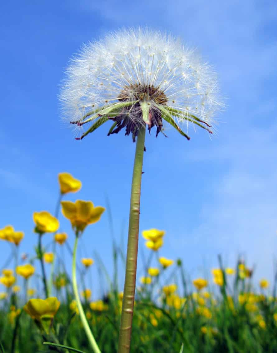 Dandelion seed head and buttercups growing