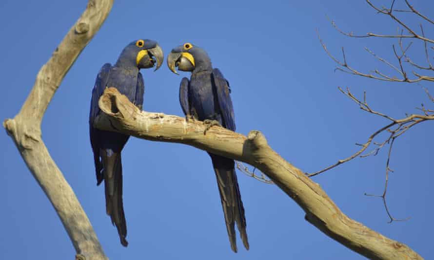 Endangered hyacinth macaws in the Brazilian Pantanal.