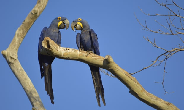 Fears for endangered macaw as fire devastates Brazilian wetland