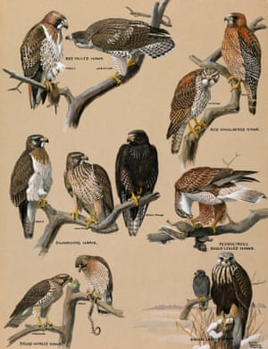 A painting portraying various species of hawks.