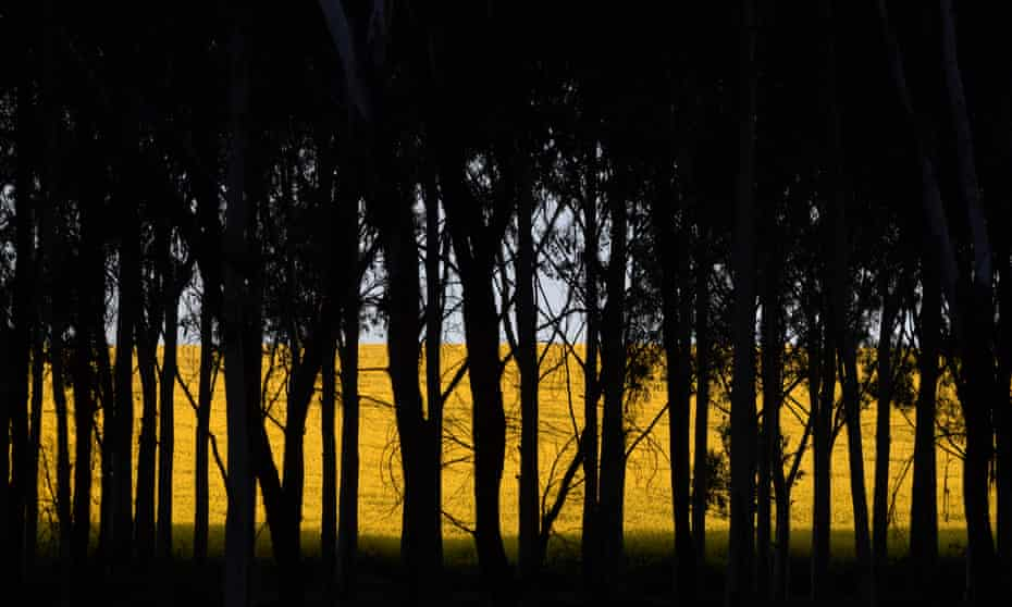 A field of canola crops seen through trees near the New South Wales town of Harden