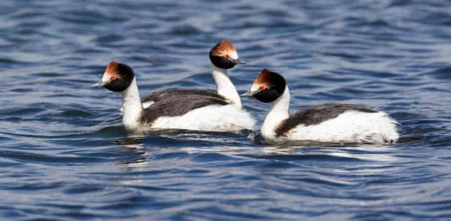 Bird music … hooded grebes inspired Stevie Wishart's The Last Dance?