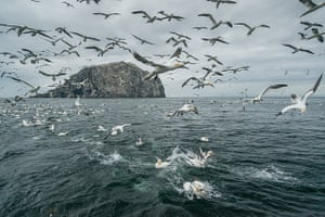 Gannets feeding off Bass Rock, Scotland.
